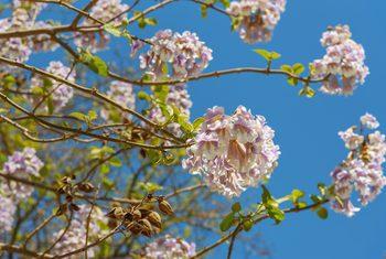گل پالونیا
