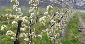 باغ متراکم گلابی